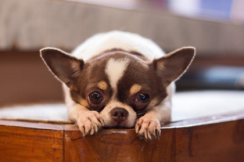 Chihuahua apartamento